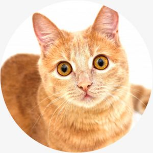 cbd ontstekingsremmend voor katten